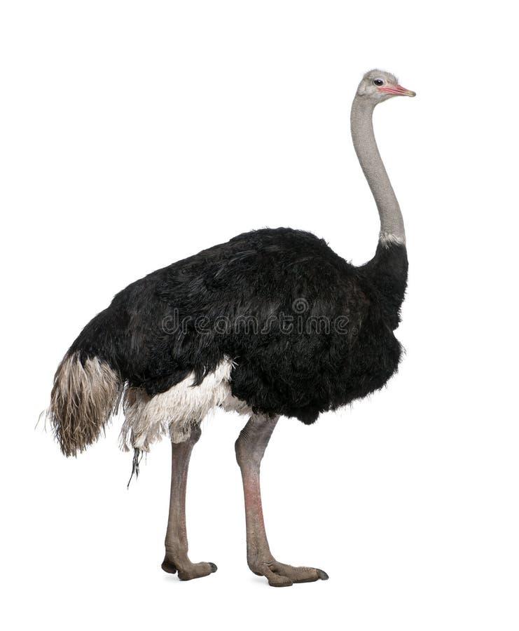 背景前男性驼鸟白色 免版税图库摄影