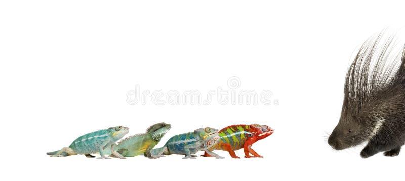 背景变色蜥蜴豪猪白色 免版税库存照片