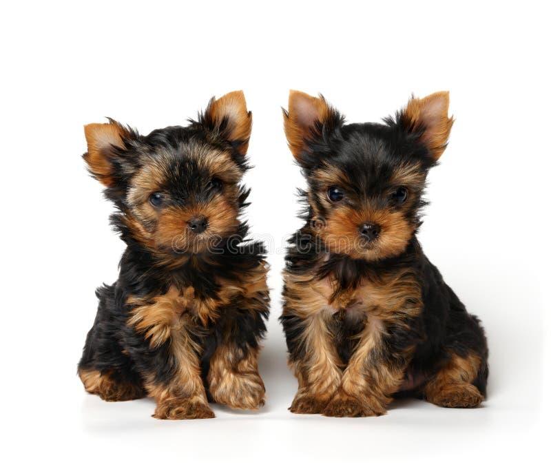 背景可爱的小狗二白色约克夏 免版税库存照片