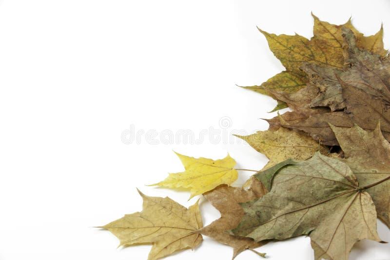背景叶子槭树白色 库存图片