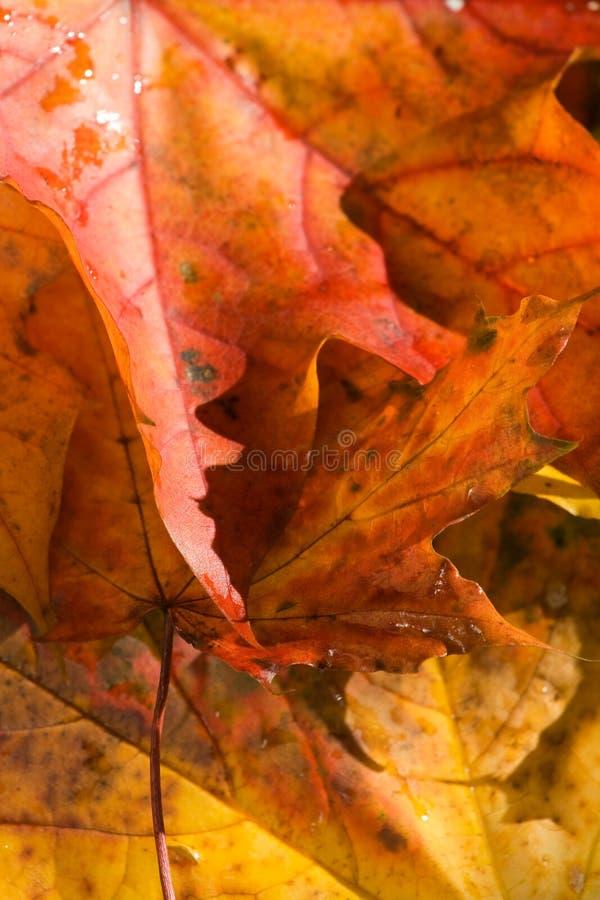 背景叶子槭树 库存图片