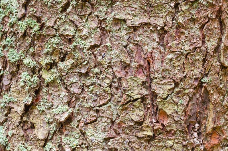 背景吠声纹理结构树 剥皮追踪崩裂树的吠声 图库摄影