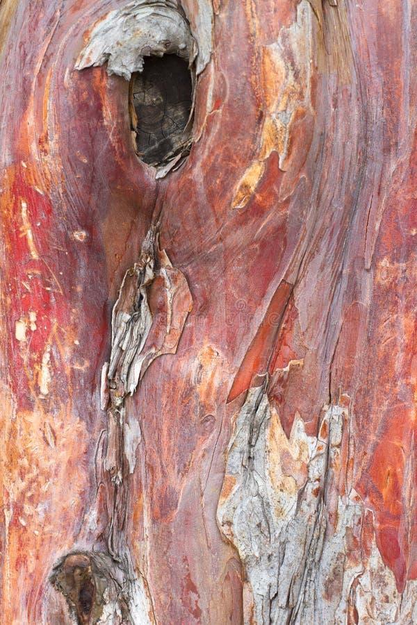 背景吠声结构树赤柏松 库存图片