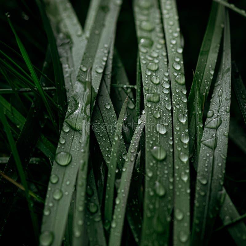 背景在叶子的绿草露水 在植物的露滴在雨以后 免版税图库摄影