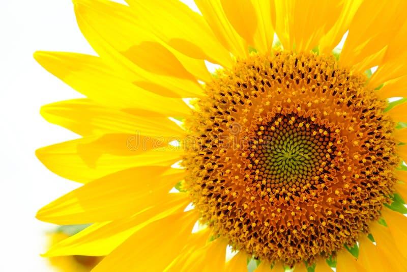 背景复制空间向日葵白色 库存照片
