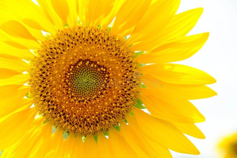 背景复制空间向日葵白色 库存图片