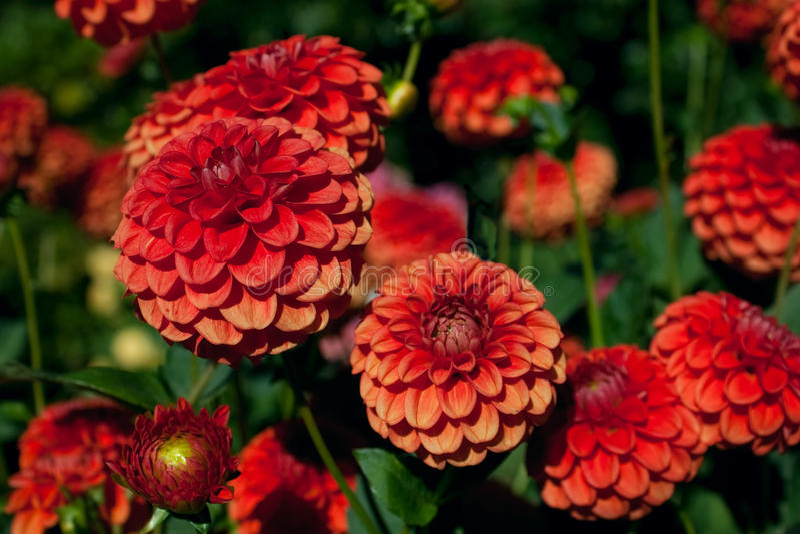 背景大丽花叶子橙红 图库摄影