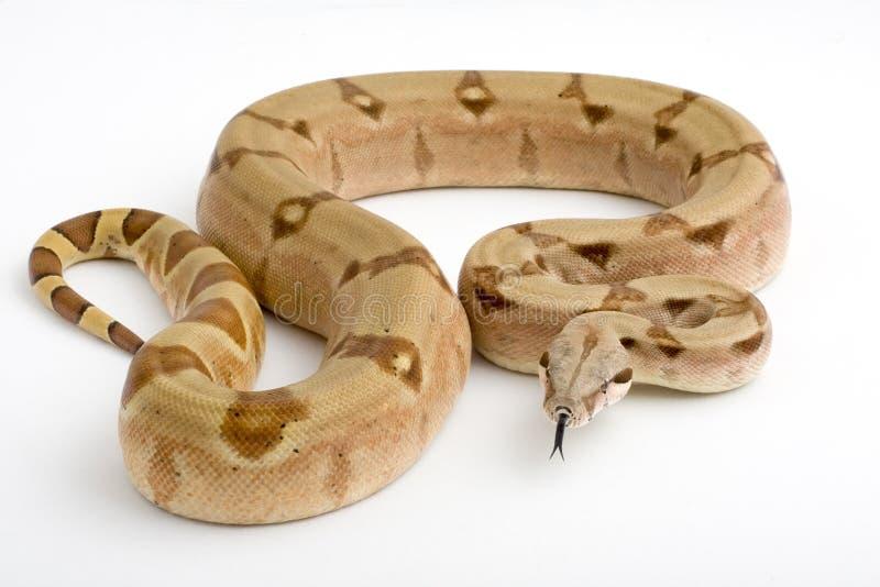 背景大蟒蛇查出的白色 免版税库存照片