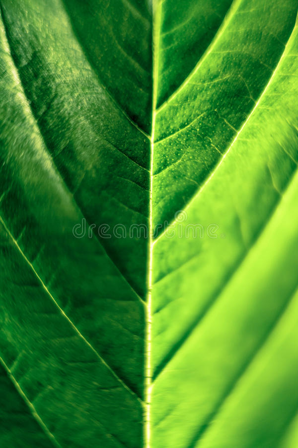 背景大麻选择查出的叶子做白色您 库存图片