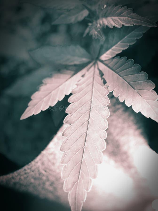 背景大麻选择查出的叶子做白色您 图库摄影