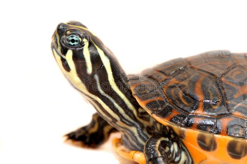 背景小的乌龟白色 免版税库存照片