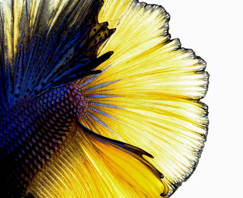 背景尾巴泰国的Betta鱼 免版税库存照片