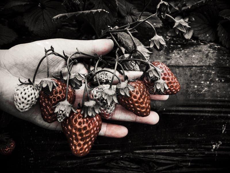 背景庭院查出的草莓白色 免版税图库摄影
