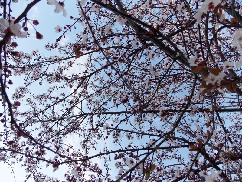 背景开花叶子橙树 免版税库存照片