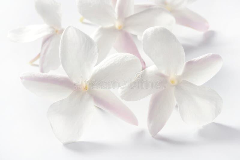 背景开花在白色的茉莉花 库存图片