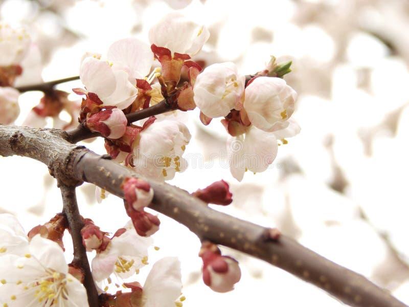背景开花小的春天白色 免版税库存照片