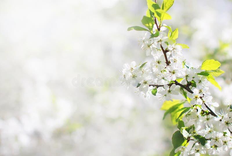 背景开花的樱桃接近的花卉日本春天结构树 库存照片