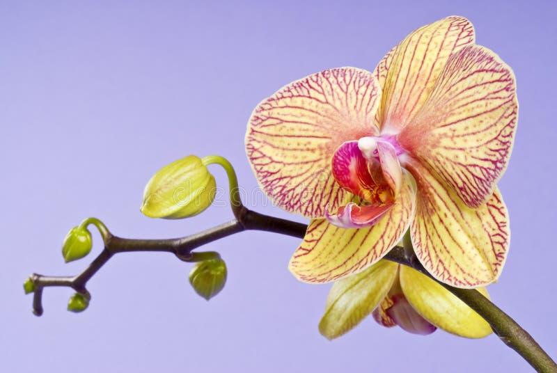 背景开花的淡紫色兰花黄色 库存照片