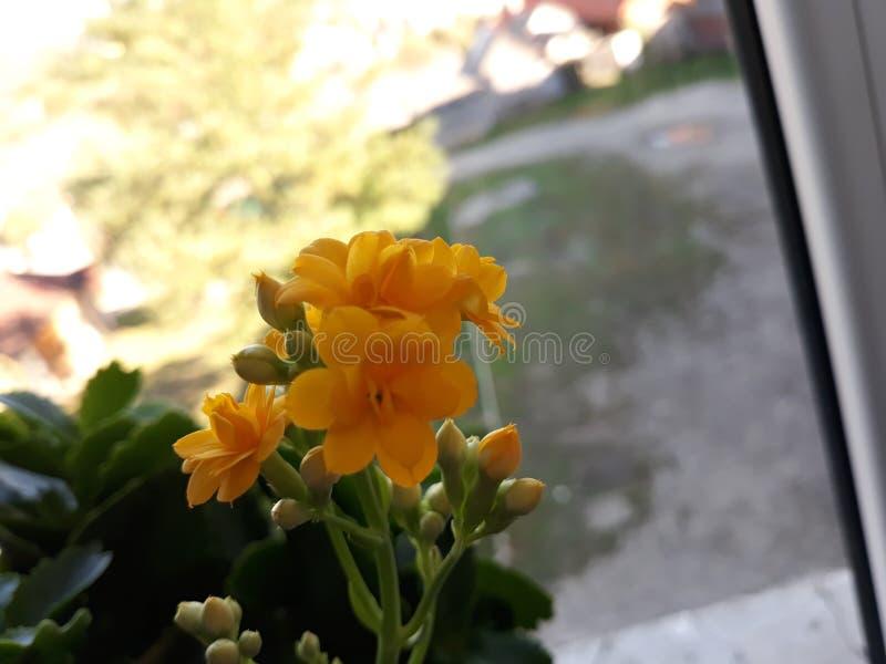 背景开花的花种子向日葵 免版税库存图片