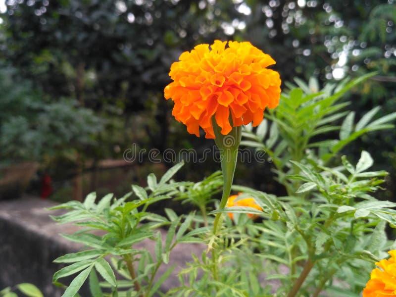背景开花的花种子向日葵 免版税库存照片
