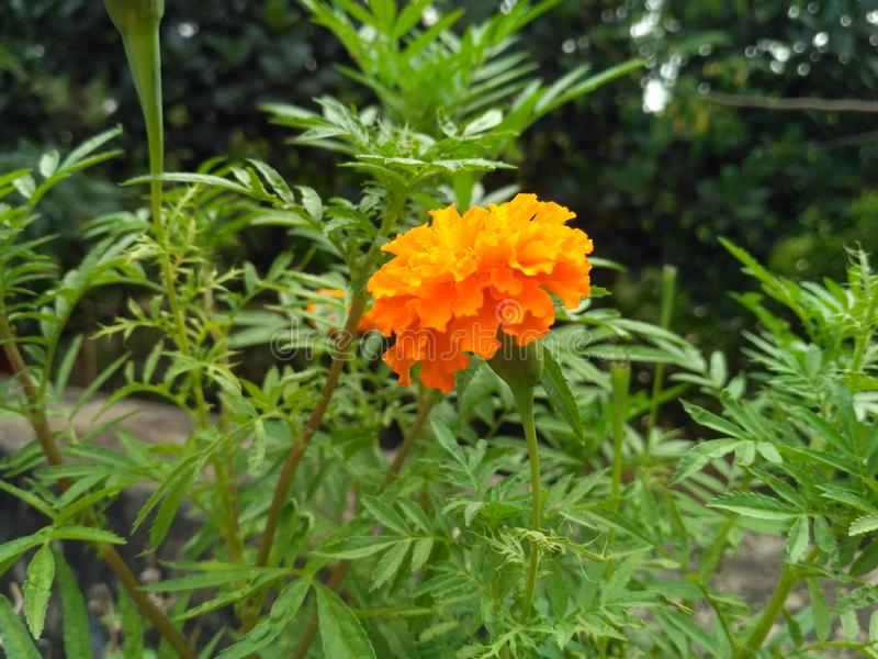 背景开花的花种子向日葵 库存照片