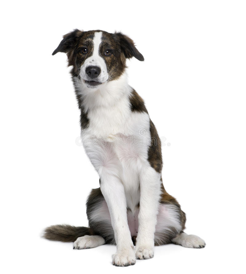 背景拙劣的狗前面白色 图库摄影