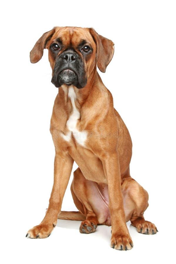 背景拳击手德国小狗坐的白色 免版税库存图片
