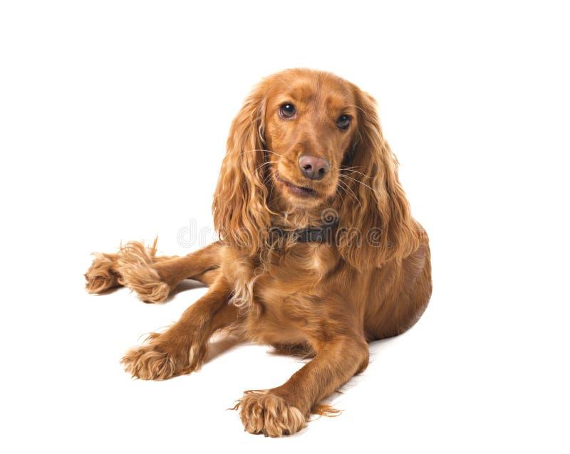 背景斗鸡家英国西班牙猎狗白色 免版税图库摄影