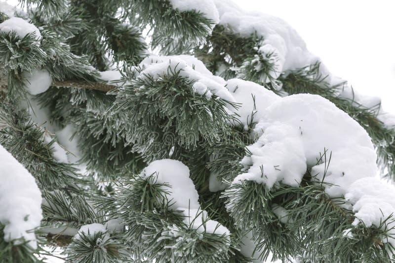 背景是自然的 天气,冬天,寒冷 用新鲜的白雪随风飘飞的雪盖的松树的分支  免版税库存图片