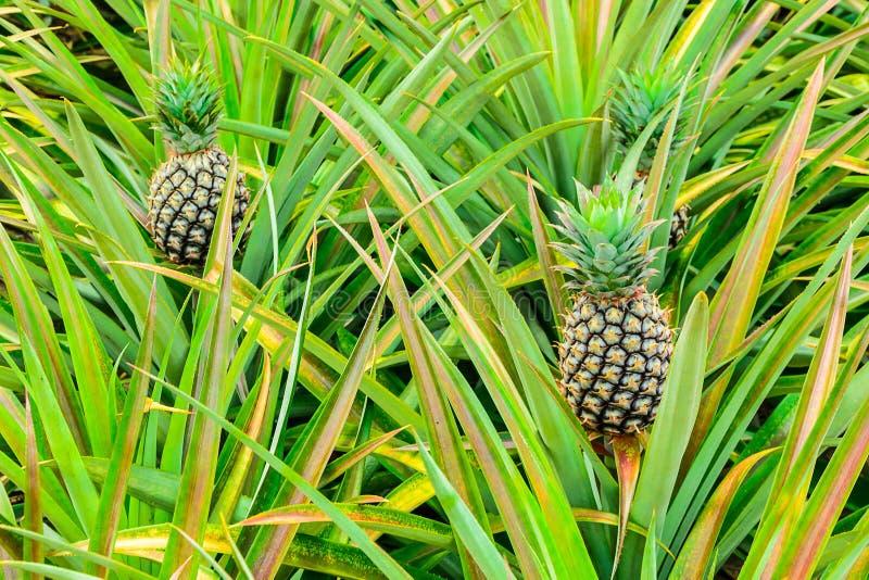 背景果皮菠萝 库存照片
