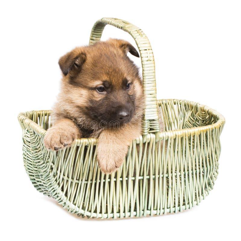 背景查出在空白小狗的护羊狗 免版税图库摄影