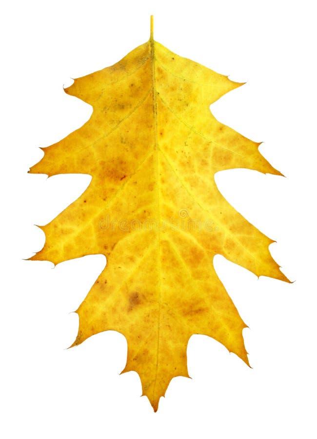 背景查出的叶子空白黄色 库存照片