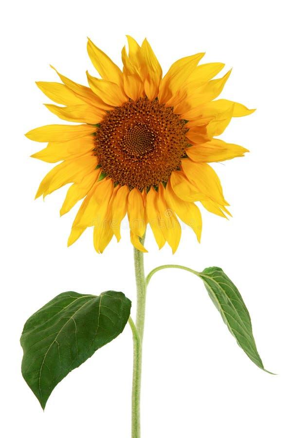背景查出的向日葵白色 免版税库存图片
