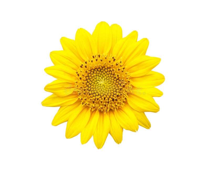 背景查出的向日葵白色 免版税库存照片