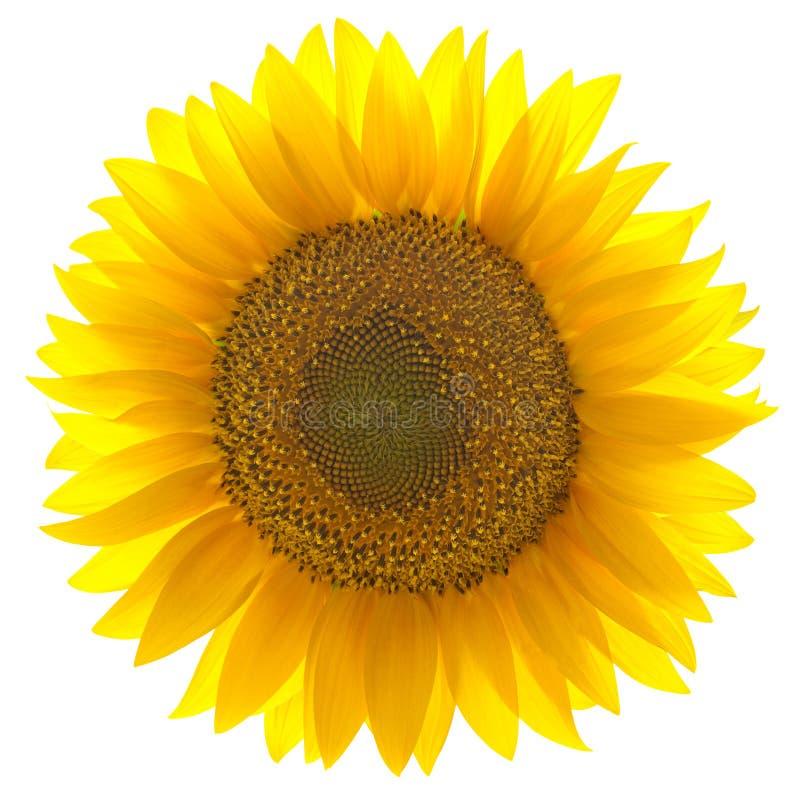 背景查出的唯一向日葵白色 库存照片