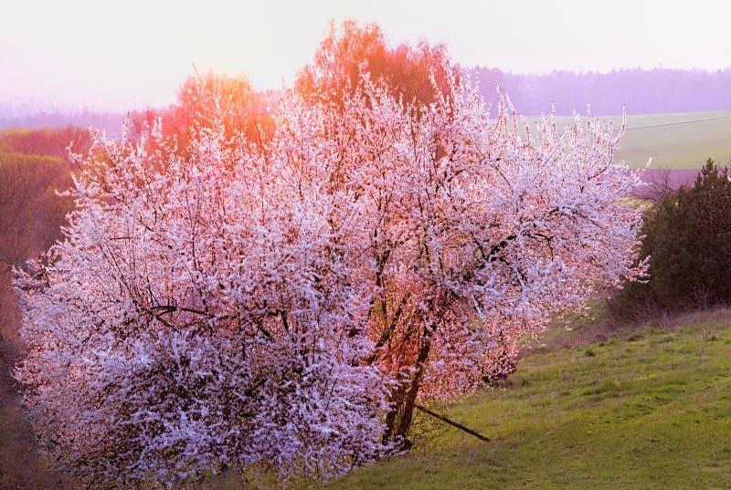 背景查出的春天结构树白色 免版税库存图片