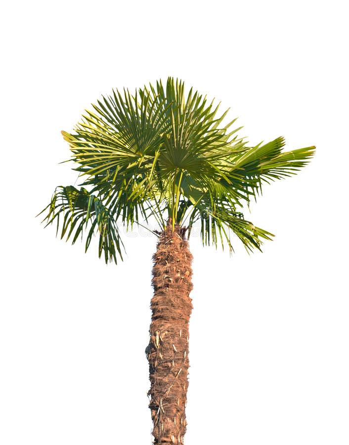 背景查出的棕榈树白色 库存照片