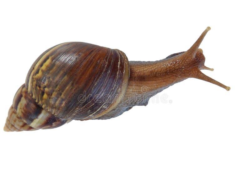 背景查出蜗牛白色 免版税图库摄影
