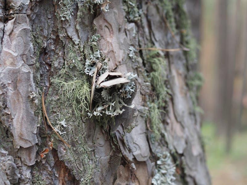 背景树,白杨树或白杨木吠声的自然裔,由生长青苔和地衣的植物的孢子污染  图库摄影