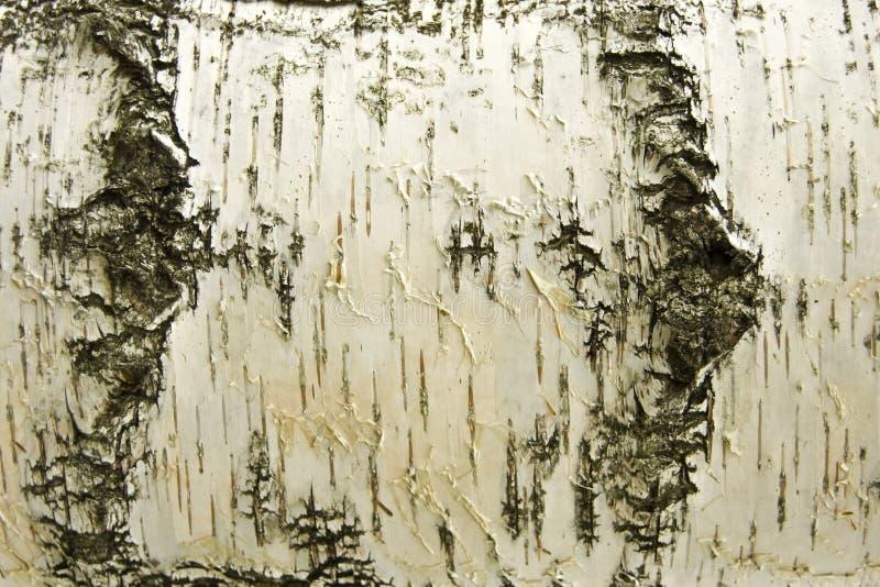 背景桦树白色 库存图片