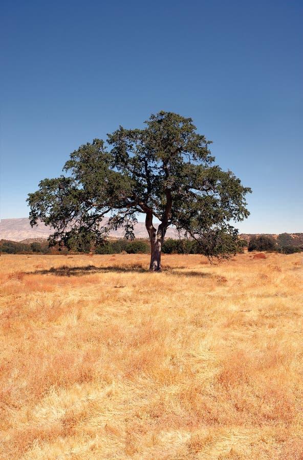 背景橡树 库存照片