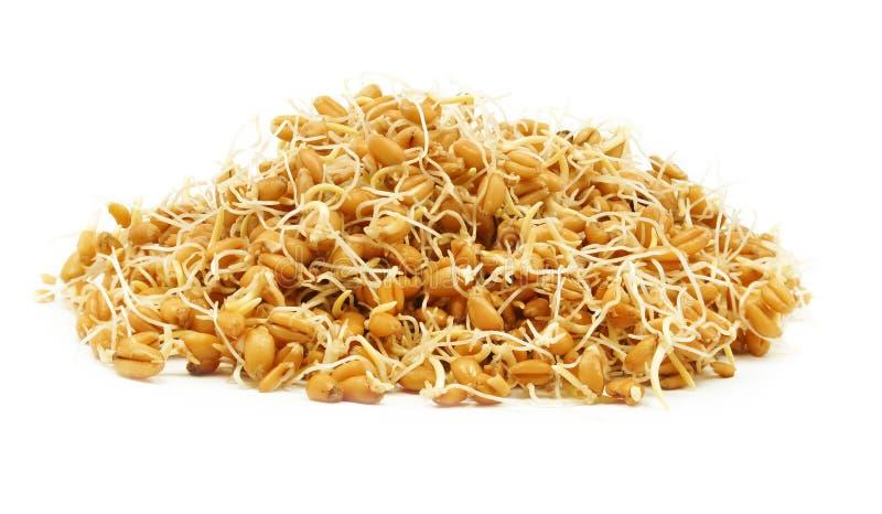 背景毒菌例证麦子白色 库存照片