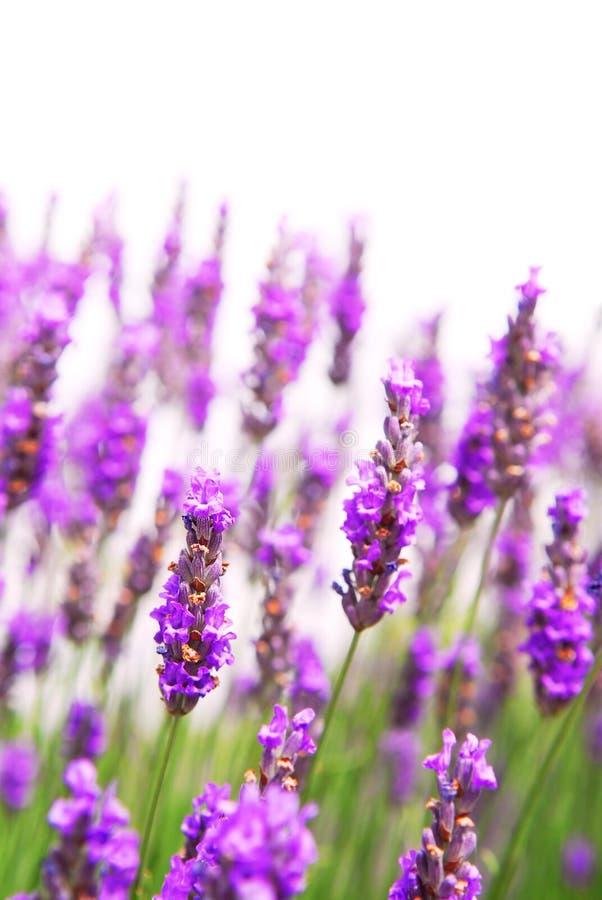 背景淡紫色 免版税库存图片
