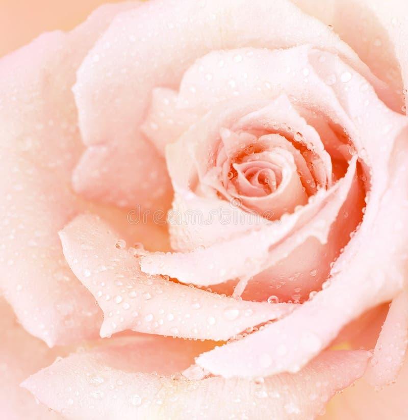 背景湿粉红色的玫瑰 图库摄影