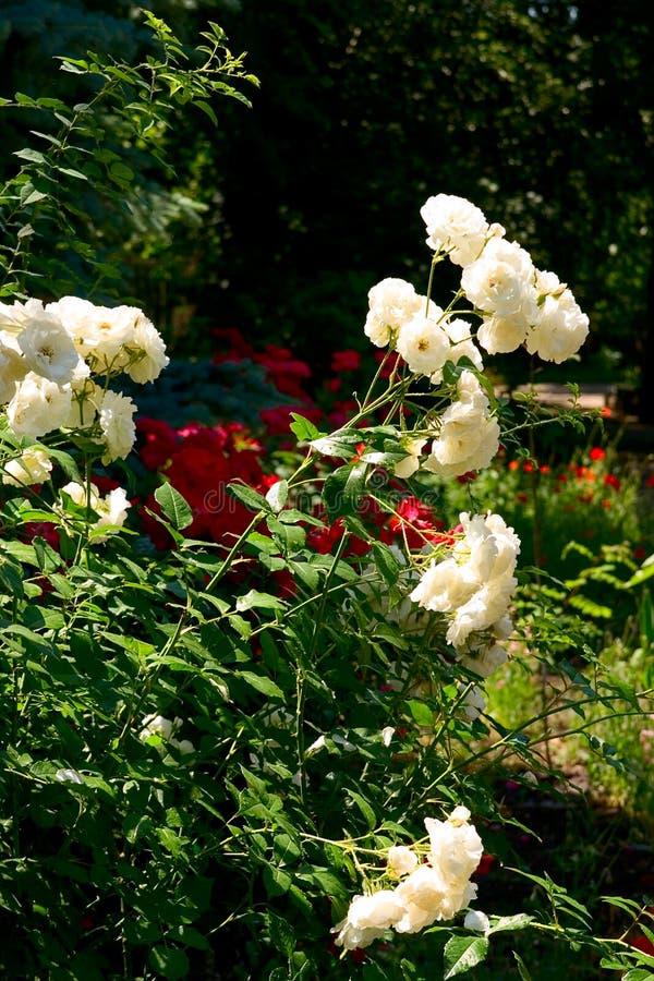 背景灌木玫瑰白色 库存图片