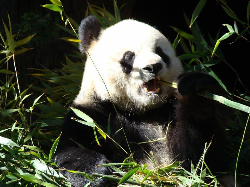 背景熊动画片例证熊猫样式白色 免版税库存图片