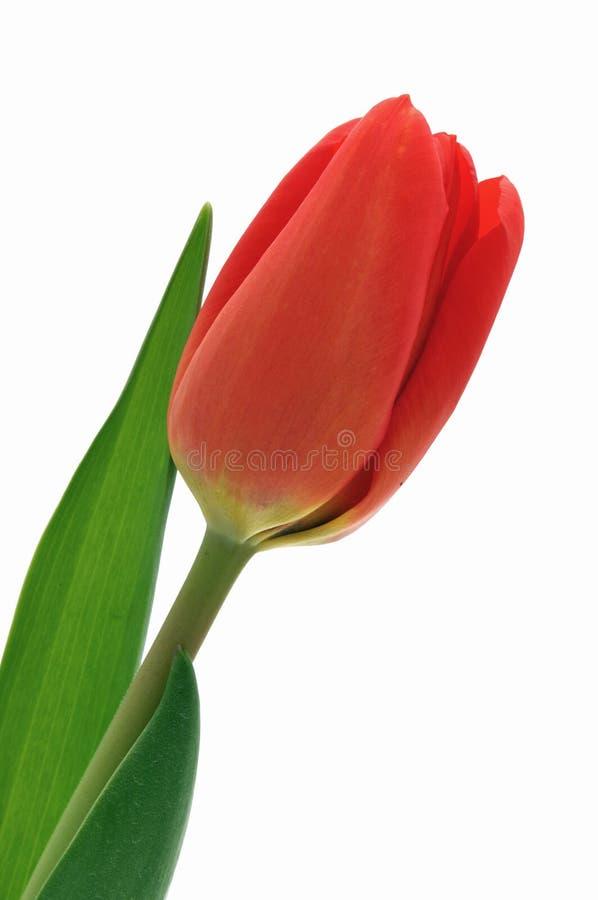 背景特写镜头查出的好的红色郁金香 库存照片