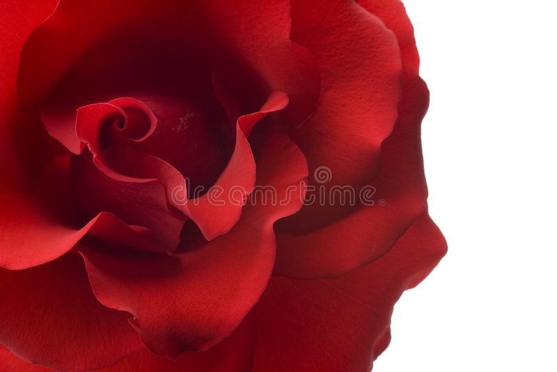 背景特写镜头查出的红色玫瑰白色 库存图片