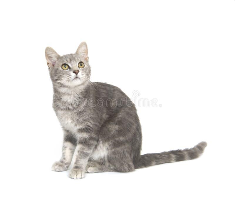 Download 背景猫灰色白色 库存照片. 图片 包括有 灰色, 似猫, 放松, 敌意, 好奇, 全部赌注, 手表, 小猫 - 3666742