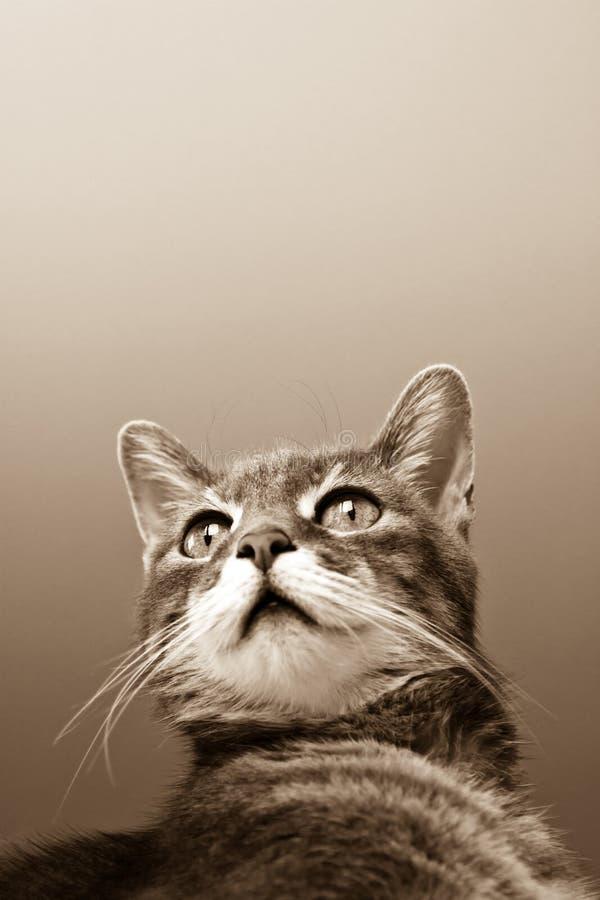 背景猫灰色 库存图片